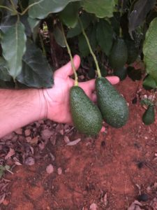 A good avo set using the correct irrigation scheduling according to crop phenology